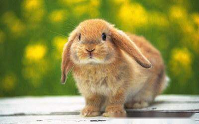 雙語故事:肇事的兔子